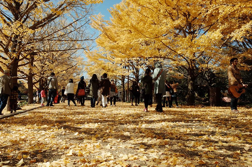 国営昭和記念公園銀杏