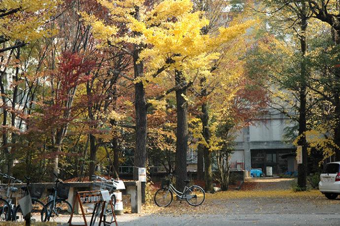 京都大學‧銀杏