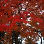 京都深秋季節裡火紅的葉子