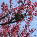 春風起,櫻花落…