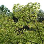 京都府立植物園之看過楓樹長的翅果嗎?(果實篇)