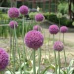 京都府立植物園之可愛的繡球蔥(アリウム・ギガンテウム)
