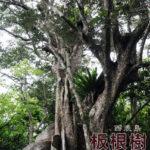 西表島紅樹林中有著美麗裙擺的板根樹