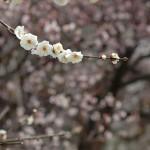 二月份的京都,攔不住的梅色