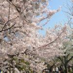 京都櫻花花見五天四夜之行程安排