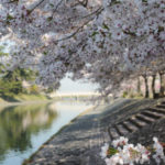 京都宇治川畔櫻花滿開