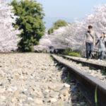 京都蹴上インクライン櫻花綻放的早晨