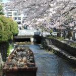 優雅靜謐櫻滿開的京都高瀨川