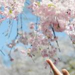 京都白川南通迷人的垂櫻和楊柳