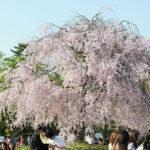 京都平安神宮內滿是隨風搖曳的枝垂櫻