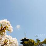 京都仁和寺御室櫻正滿開