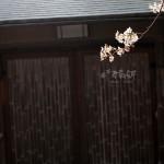 京都哲學之道櫻花大綻放