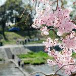 京都賀茂川半木之道之浪漫的枝垂櫻