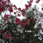 睽違一年的緋寒櫻(山櫻)
