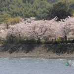 京都櫻吹雪大集錦:哲學之道、宇治、府立植物園(影片篇)