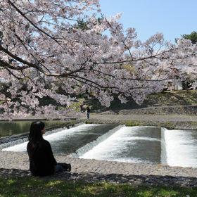 京都宇治櫻花