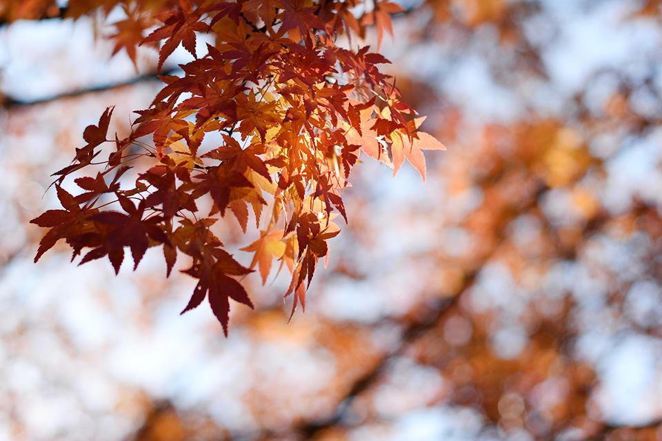 国営昭和記念公園紅葉